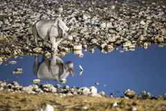 Black rhino at a water hole Stock Image
