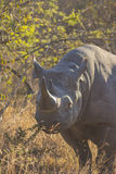 Black rhino in the wild 8 Royalty Free Stock Photo