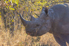 Black rhino in the wild 10 Stock Photos