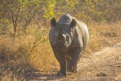 Black rhino in the wild 6 Royalty Free Stock Image
