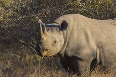 Black rhino in the wild 1 Royalty Free Stock Photos