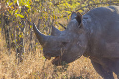 Black rhino in the wild 9 Stock Photos