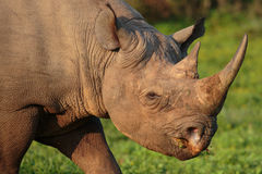 Black Rhino. Wild Black Rhino with hooked lip in South Africa Royalty Free Stock Image