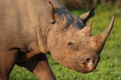 Black Rhino Royalty Free Stock Image