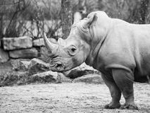 Black Rhinocero, Diceros bicornis, profile view in greyscale. Black Rhinocero, Diceros bicornis, wild, dangerous and endangered african mammal in the ZOO. Black Royalty Free Stock Photography