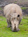 Black Rhinocero - Diceros bicornis Stock Photography