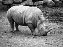 Black Rhinocero - Diceros bicornis Stock Image
