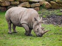 Black Rhinocero - Diceros bicornis Stock Photo