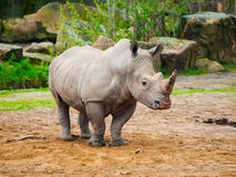 Black Rhinocero - Diceros bicornis Royalty Free Stock Photo