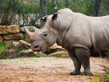 Black Rhinocero - Diceros bicornis Royalty Free Stock Photos