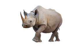 Black Rhinoceros. Isolated on white background; Diceros bicornis Stock Images