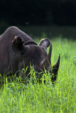 Black rhinoceros Stock Photos