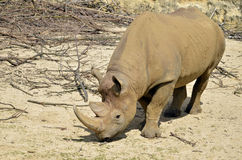 Black Rhinoceros Royalty Free Stock Images