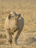 Black rhinoceros. Massive animal; dark-grey skin; two horns; threatenedy; persist only in actively managed conservatyion areas in savannahs; grazer;  primarily Royalty Free Stock Photo