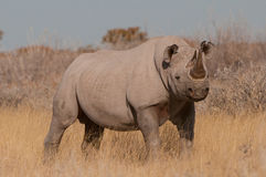 Black Rhinoceros. Massive animal; dark-grey skin; two horns composed of matted, hairliked filaments; threatened; poached aggressively; persist only in actively Stock Photos
