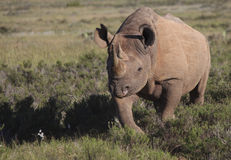 Black Rhinoceros. A black rhino walking in typical South African 'fynbos' near Port Elizabeth Royalty Free Stock Photos