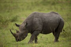 Black Rhinoceros Royalty Free Stock Image