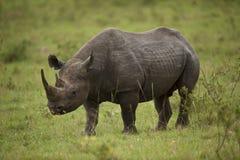 Black Rhinoceros Stock Image