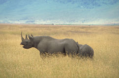 Black Rhinoceros. An angry black rhino protecting her calf in the Ngorongoro Crater, Tanzania Royalty Free Stock Photo