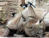Black rhinoceros. A black rhinoceros (hooked-lipped rhinoceros) with birds Royalty Free Stock Images