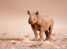 Black Rhinoceros baby. Baby Black Rhinoceros standing on salty plains of Etosha Stock Photo