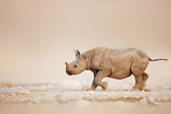 Black Rhinoceros baby running Stock Photography