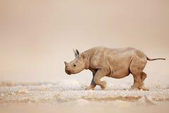 Black Rhinoceros baby running Stock Photography