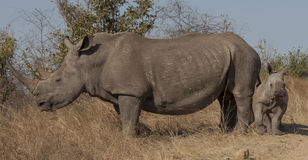 Black rhinoceros with baby. Are watching. They are smaller than the white rhinos. Black rhino is a browser. Typically the calf is behind the mom. Majestic royalty free stock photos