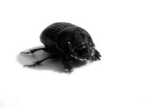 Black rhinoceros beetle Stock Images