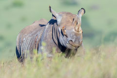 Black Rhinoceros Blinded By Red Billed Oxpecker Stock Photos