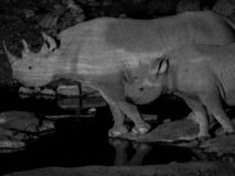 Black Rhinoceros and calf drinking water. In the evening at national park. Black and white stock photos