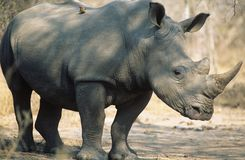 Black Rhinoceros (Ceratotherium Simum) Royalty Free Stock Photography