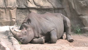 Black Rhinoceros stock video