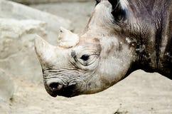 Black rhinoceros Royalty Free Stock Images