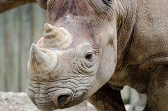 Black rhinoceros Stock Photos