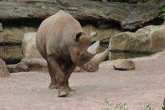 Black rhinoceros (Diceros bicornis). A huge black rhino in a zoo stock images