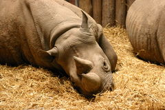 Black Rhinoceros - Diceros bicornis Royalty Free Stock Photography