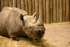 Black Rhinoceros - Diceros bicornis Royalty Free Stock Photo
