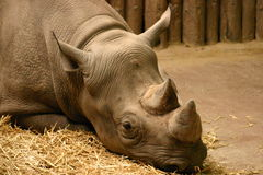 Black Rhinoceros - Diceros bicornis Stock Photos