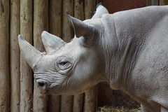 Black Rhinoceros - Diceros bicornis Stock Photo