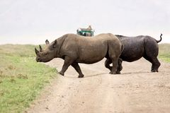Black rhinoceros (Diceros bicornis) Stock Photography