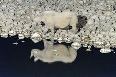 Black rhinoceros, Diceros bicornis, at an artificially lit water Stock Photos