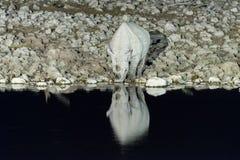Black rhinoceros, Diceros bicornis, drinking at an artificially Stock Photo