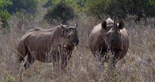 Black Rhinoceros, diceros bicornis, Female with Calf, Masai Mara Park in Kenya,. Real Time 4K stock footage