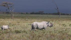 Black Rhinoceros, diceros bicornis, Female with Calf, Nakuru Park in Kenya,. Real Time stock video footage