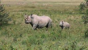 Black Rhinoceros, diceros bicornis, Female with Calf walking, Nakuru Park in Kenya,