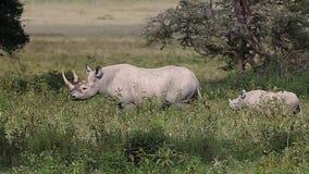 Black Rhinoceros, diceros bicornis, Female with Calf walking, Nakuru Park in Kenya,. Real Time stock footage