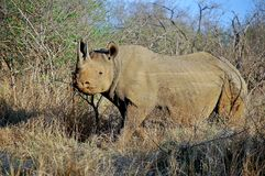 The black rhinoceros (Diceros bicornis) Stock Photography