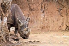 The black rhinoceros Diceros bicornis Royalty Free Stock Photography