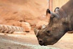 The black rhinoceros Diceros bicornis Royalty Free Stock Photo